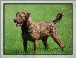Pi�kny, du�y, Chesapeake Bay retriever