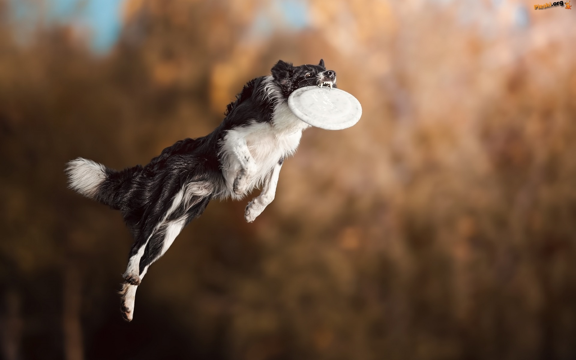 Border collie, Frisbee