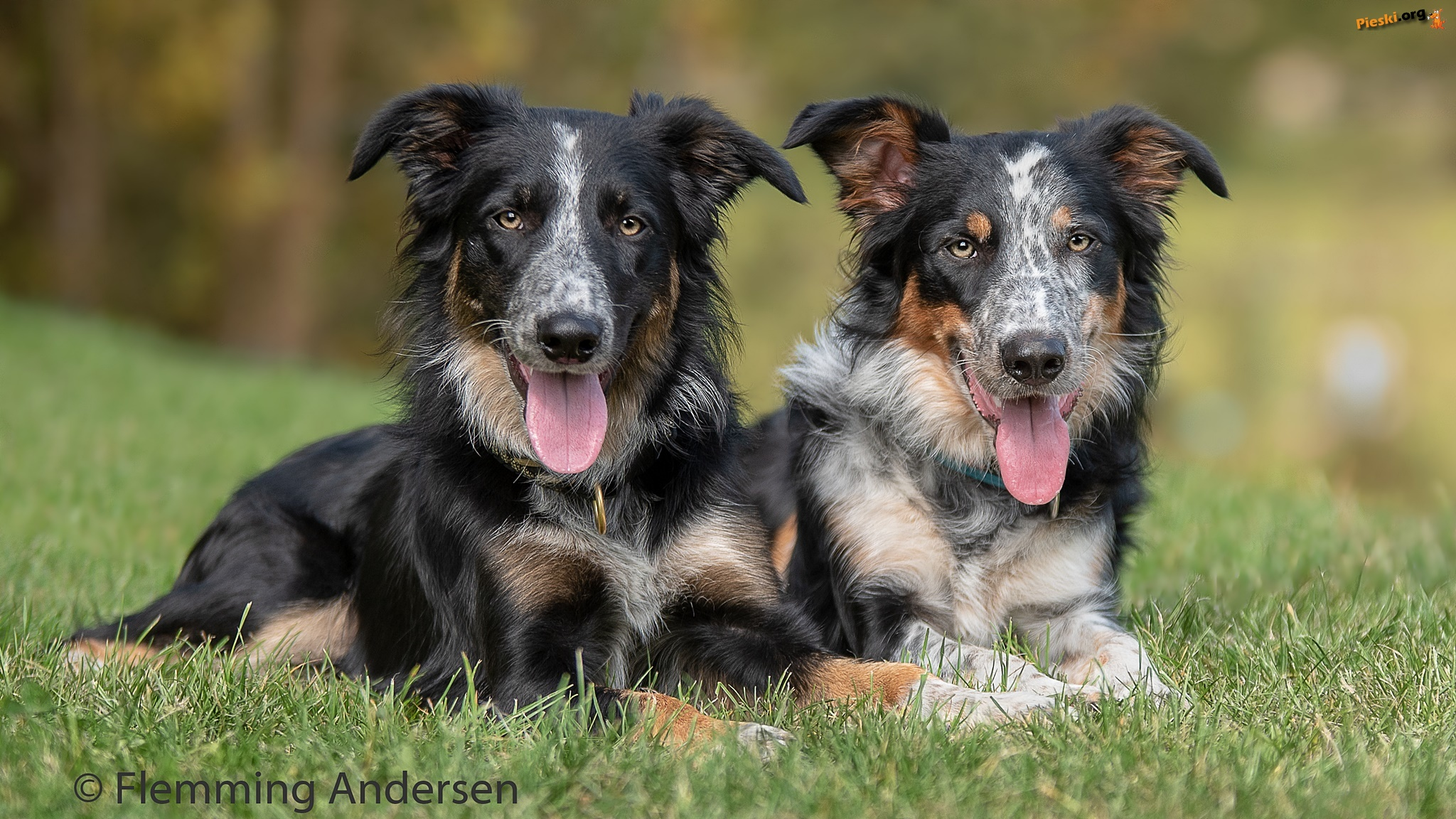 Psy, Border collie, Trawa