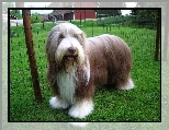 Zadbany, Bearded collie