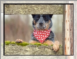 Chustka, Pies, Australian Cattle Dog, Deski