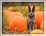 Australian Cattle Dog, Dynie