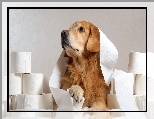 Golden retriever, Zabawa, Papier