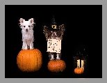 Lampion, Chihuahua, Psy, Dynie, Halloween