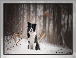 Las, Pies, Border collie, Śnieg