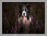 Mordka, Pies, Border collie, Wrzosy