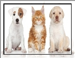 Maine Coon, Jack Russell Terrier, Pies, Kot, Labrador Retriever