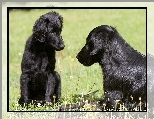Psy, Dwa, Czarne, Flat coated retriever