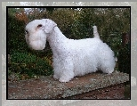 Sealyham Terrier, murek